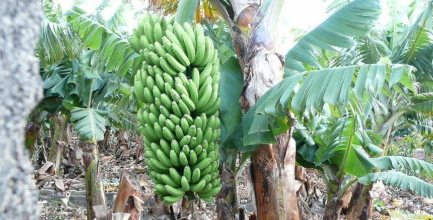 Coaching trip La Palma - Banana Plantation